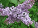 Lilac in Scottswood Common