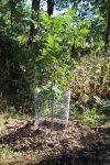 Planted Pecan Tree