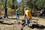 Planting Black Oaks (2)